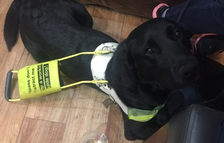 Layla a black lab retriever cross is lying down with her front paws folded. She is wearing her guide dog harness with the handle down resting on her back. She is looking up at the camera with a gentle expression.