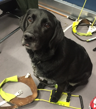 An older black retriever dog, grey hairs are visible on his stomach and muzzle. He is sitting upright, looking slightly to the left of the camera. One paw rests on his guide dog harness which is on the ground.