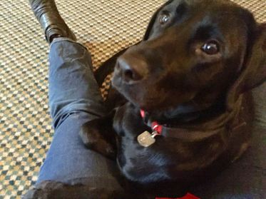 A shiny black labrador is lying between my legs. The dog is looking up at the camera and has one paw outstretched on my leg and the other tucked up. My blue jeans and black shoe on my left leg are on the left of the picture. Underneath there is a busy geometric patterned green carpet.