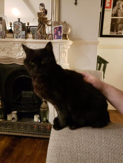 A small black fluffy cat. The cat is sat down looking straight at the camera, a male hand pets the cat. Behind the cat is a fireplace decorated with ornaments.