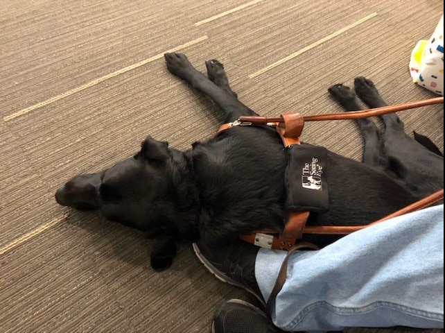 Justin's seeing eye dog PJ lies on the ground. He is a black labrador and wears the brown seeing eye dog harness. PJ is relaxing on the carpet lying on his side with his legs