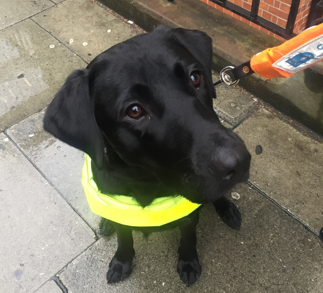 Trainee guide dog Zena looks up at the camera. She is a black labrador cross wearing a trainee harness.